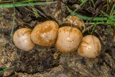 Conocybe coprophile