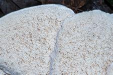 Polypore spongieux, Polypore attrayant